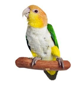 caique-on-white-background